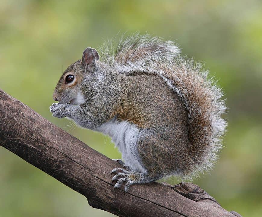 869px Eastern Grey Squirrel